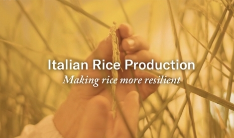 Italian Rice Production: Making Rice More Resilient