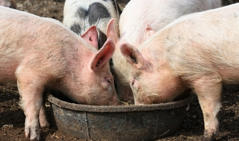 Can Pigs Help Reduce Food Waste?