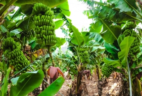 Banana Plantations | 3 Sustainable Practices