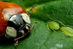 Insect Crop Combat: Beetles vs Aphids