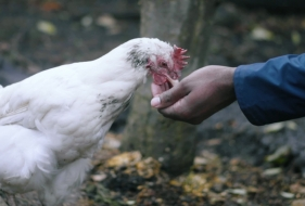 What It's Like Raising Chickens In Your Backyard