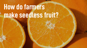 How do farmers make seedless fruit