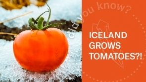 Iceland Tomato Farm | Look Inside (360 Video)