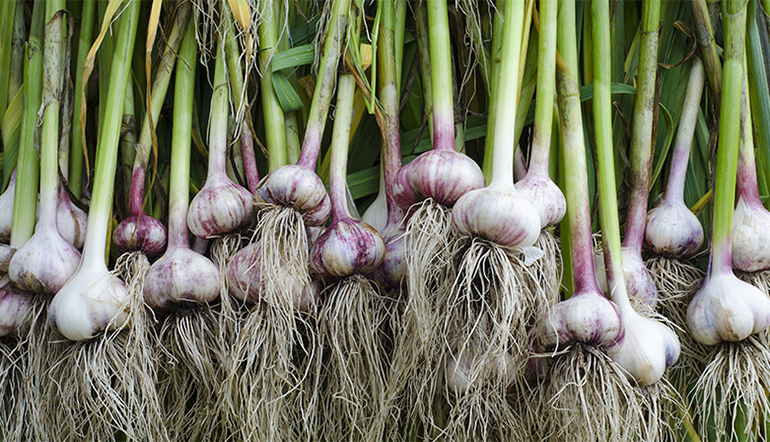 Garlic   The Superfood You've Been Cooking Wrong All Along